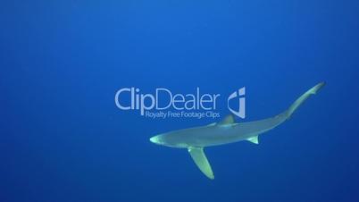 Blauhai in den Azoren