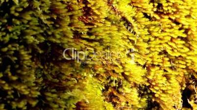 Brown colored moss or algae
