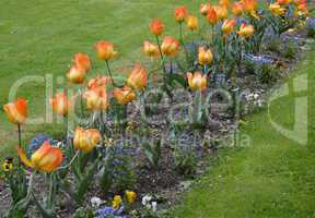 Way of tulips in bloom in spring