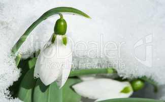snowdrop flower in a snow