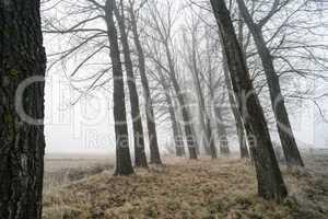 big trees in fog