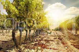 vineyards at sunset in autumn harvest.
