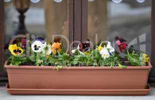 Viola in pot on a window sill in winter