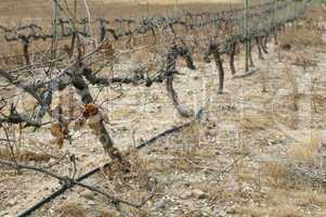 poor harvest vineyards