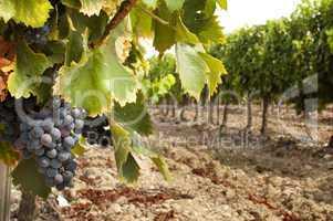 vineyards in rows