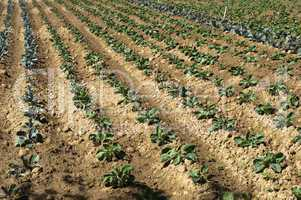 plantation with cabbage