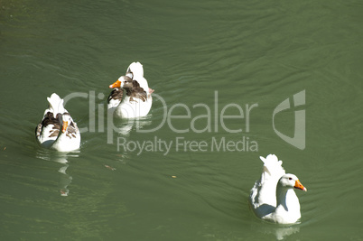ducks in the river and reeds
