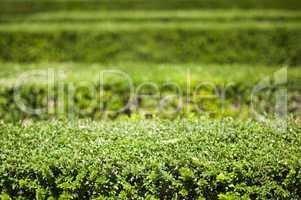 green background of garden shrubs