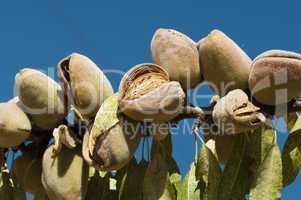 nearly ripe almonds