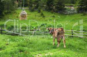 Broun young calf