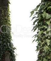 Climbing plants white isolared
