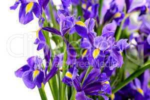 detail of purple iris spring flower