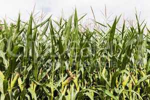 Green corn food plant farm field
