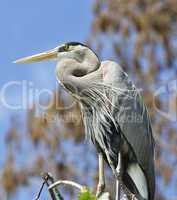great blue heron perching