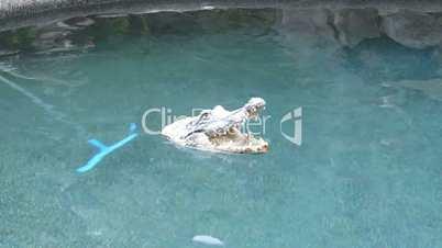 floating crocodile toy