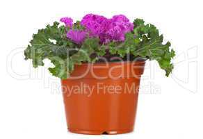 Ornamental Purple Kale or cabbage