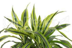 Chlorophytum - evergreen perennial flowering plants