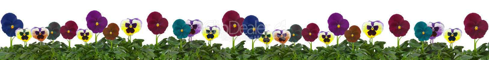 Row of pansies isolated on a white