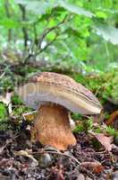 boletus aereus mushroom (porcini, porcino, cep, steinpilz) 1