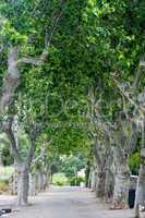plane trees in southern france