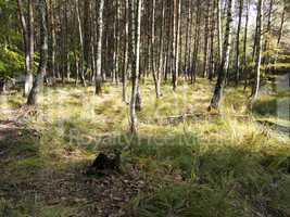 birch and pine grove
