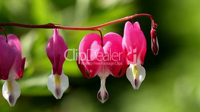 Nice flowers ,bleeding heart ( Lamprocapnos spectabilis )