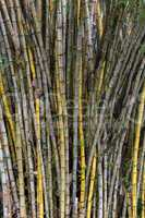 stand of bamboo canes