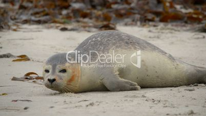 young wounded seal 11241