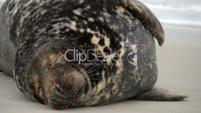 big male grey seals close 11242