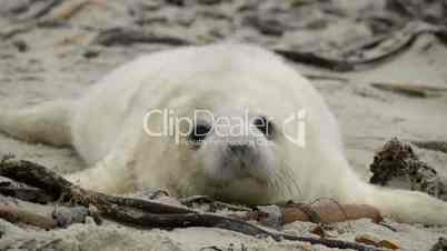 female grey seal smells at her pup close 11243