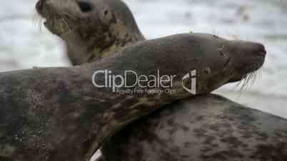 grey seals during propagation 11246