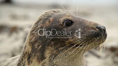 grey seal super close 11247