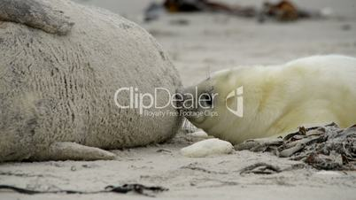 grey seal pup searching for milk close 11248