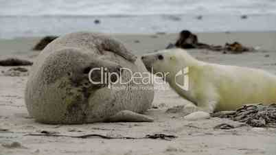grey seal pup searching for milk wide 11249