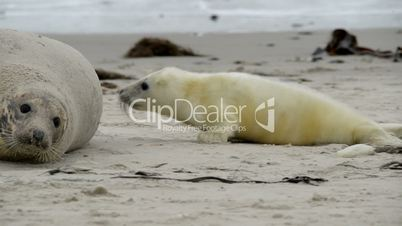 grey seal pup hunting for mothers milk 11250