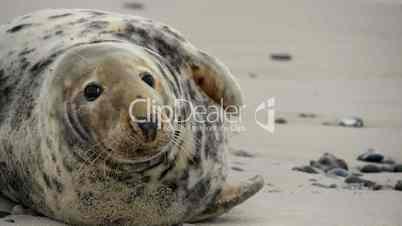 female grey seal close 11251