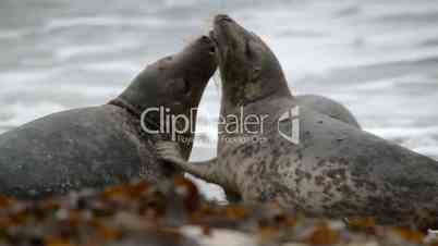 grey seals during love game 11252