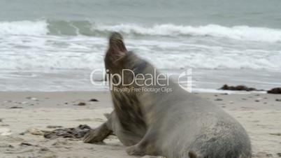 agressiv female grey seal attack 11255