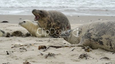 female grey seal reprimands her pup 11256