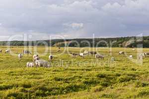 rinderherde auf einer wiese, cattle herd on a meadow