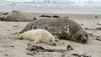 female grey seal wth pup close to cam 11258