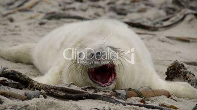 sweet little grey seal pup yawns 11259