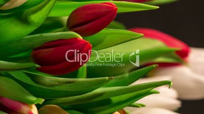 Bouquet of bright tulips blooms, macro moving
