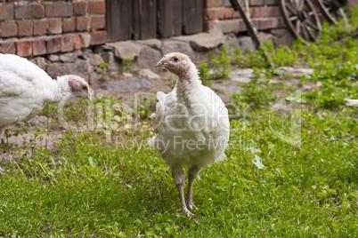 puten auf einem bauernhof, turkey hen on a farm