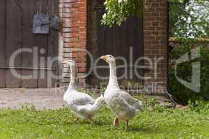 gänse auf einem bauernhof, geese on a farm