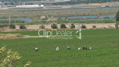 Farm workers working in field