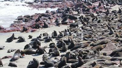 colony of seals at cape cross reserve