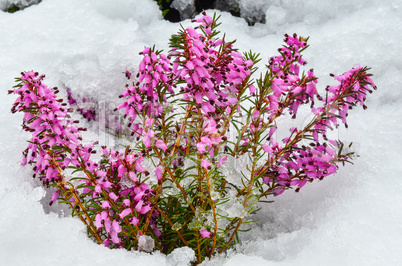 purple heather flowers