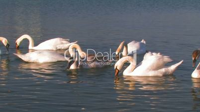 Flock of white swans on a lake.