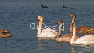 Flock of swans on the lake.